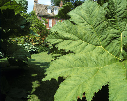 The enormous leaf of a Gunnera in the foreground with a glimpse of the late seventeenth-century Dutch-style banqueting house in the distance, in the garden at Upton House, Warwickshire