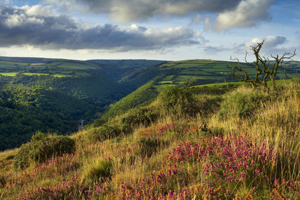 Coastal heath (Common heather, Bell heather and Western gorse) lining the coastal path in late summer on the hillside above the Heddon Valley, with Exmoor beyond