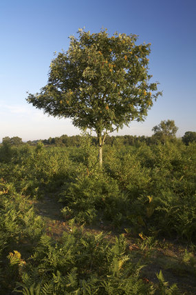 A rowan tree (Sorbus aucuparia) on Rockford Common, New Forest, Hampshire