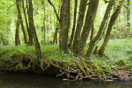 Trees on the cool wooded banks of the River Lyd in the Lyd Valley, Devon