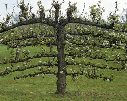 The Courts, espalier fruit tree in bloom