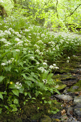 Alium ursinum (Ramsons) or wild garlic growing amongst the cool wooded banks of the River Lyd in the Lyd Valley, Devon