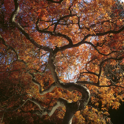 The twisted branches and vibrant autumn foilage of a Japanese maple (Acer palmatum) at Sheffield Park Gardens, Sussex