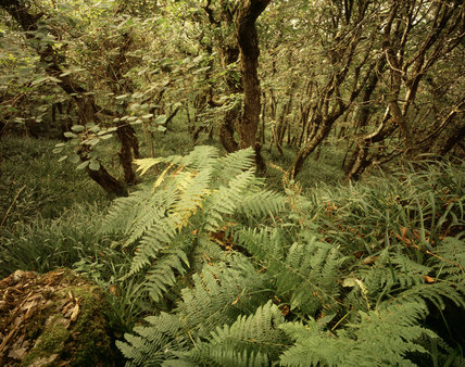 A view across the forest floor of dense ferns and undergrowth beneath the stunted oaks in Dizzard Wood at Crackington Haven where wind-clipped trees struggle to reach 20 feet in height