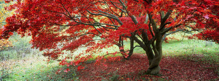 A Japanese Maple (Acer) in brilliant crimson autumn foliage