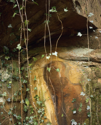 Trails of young ivy hang from rocks in the ancient woods of Padley Gorge on the Longshaw Estate in the Peak District