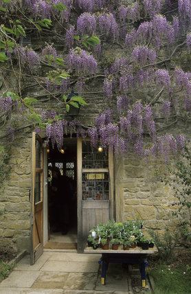 A display of wisteria in full bloom, over the shop entrance, at Montacute House
