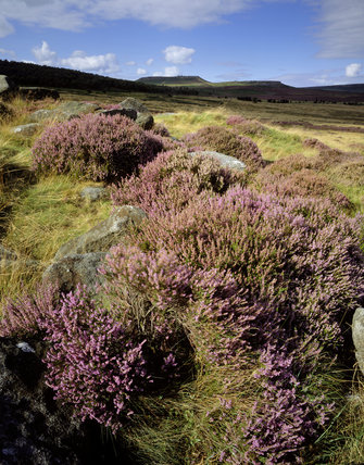 Close view of flowering heather growing over outcrop rock with shafts of sunshine