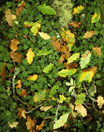 Close view of lichens and oak leaves in clover on woodland floor in Horner Wood, Holnicote Estate - with ancient oak wood- land with mostly sessile oak trees with import lichen flora