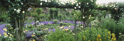 The Pergola garden at Gunby Hall with white and yellow roses and lavender growing below