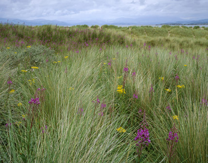 Grasses and wild flowers growing on the calcareous sand dunes at Sandscale Haws with the Duddon estuary in the background, and the hills of the southern Lake District beyond