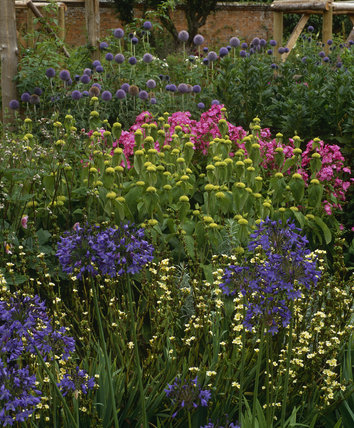 A colourful corner in the Mottisfont Gardens in July, with Agapanthus headbourne hybrid, Sisyrinchium striatum, Phlomis russeliana and Phlox