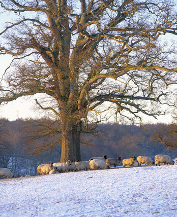 Sheep huddled under a large tree on the Scotney Castle Estate, taken in December with a thin layer of snow on the ground