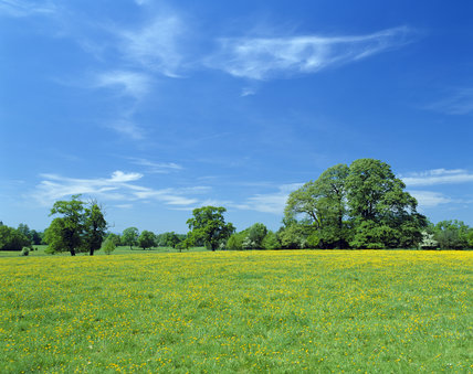 Beautiful view of a field covered with bright yellow buttercups at Attingham Park, Shropshire