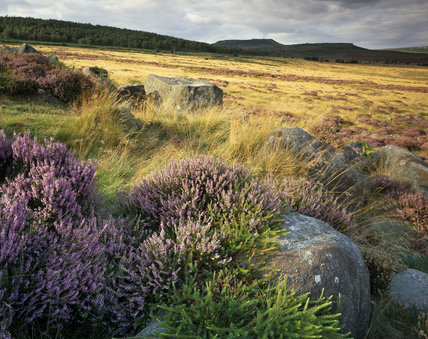 Overall view of ancient woodland and moorland on Longshaw estate with large clump of flowering heather surrounding millstone out- crop in the foreground, seen in mild sunshine