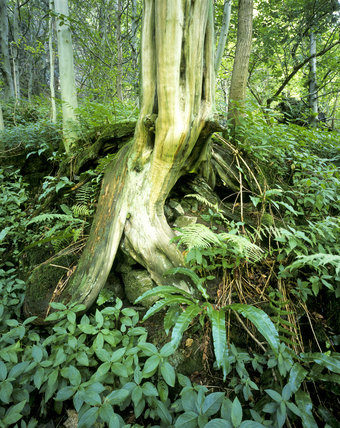 A tree stump, surrounded by ferns and the like, in Ilam Park