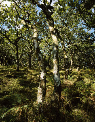 Stunted oaks on Ley Hill, Horner Wood, Holnicote Estate - with ancient oak woodland with mostly sessile oak trees with an internationally important lichen flora