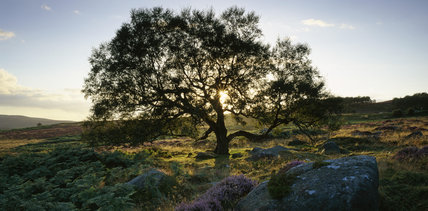 Heathland on the Longshaw Estate with an ancient tree and heather