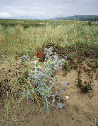 Sea Holly (eryngium) growing on the sand dunes at Sandscale Haws, many grasses in the background, and the hills of the southern Lake District beyond