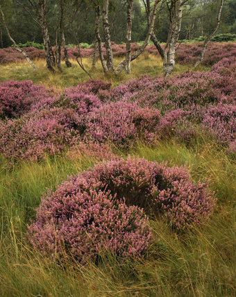Close view of profusely flowering clumps of heather surrounding a stand of silver birch trees in summer sunshine on the Long- shaw estate in the Peak District, Derbyshire
