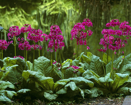 Bright pink Primulas growing by the canal at the end of the lake at Dunham Massey