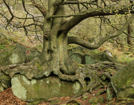 A lichen-spattered tree and its exposed roots in Padley Gorge on the Longshaw Estate