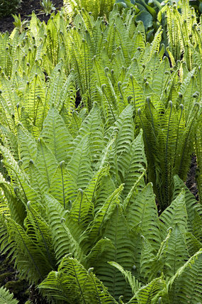 Ferns at Dunham Massey, Cheshire