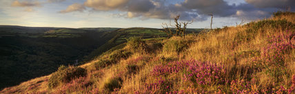 Coastal heath (common heather, bell heather and western gorse) lining the coastal path in late summer on a hillside above the Heddon Valley with Exmoor beyond, North Devon