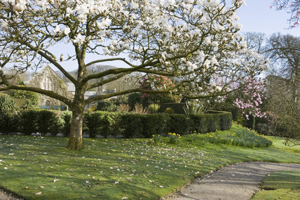 Magnolias in flower in the garden at Lanydrock, Cornwall