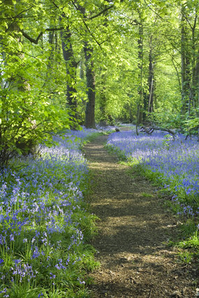 A path winds through the bluebell carpet at Stocktons Wood at Speke Hall, Merseyside
