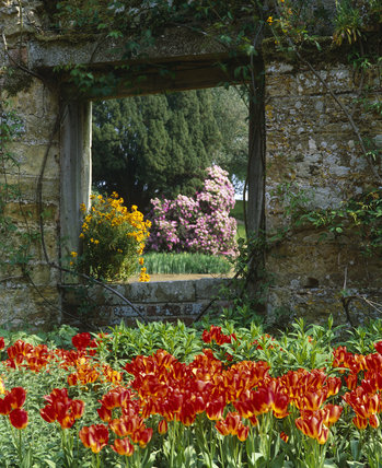 Brightly coloured tulips in the foreground, with wallflowers growing in the window of the ruins of the old castle at Scotney Castle, Kent