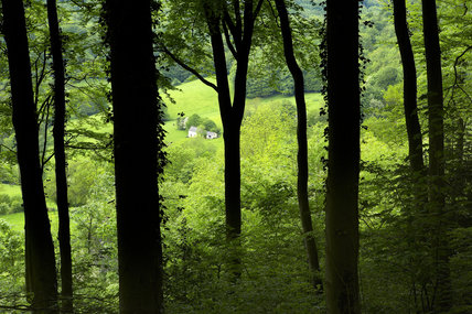 Beech woodland at Ebworth near Painswick, Stroud, Gloucestershire
