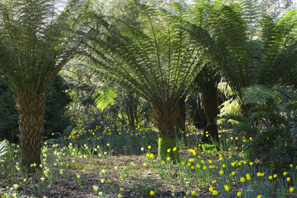 Tree fern, Dicksonia antarctica, underplanted with wild daffodil at Trelissick Garden, near Truro, Cornwall
