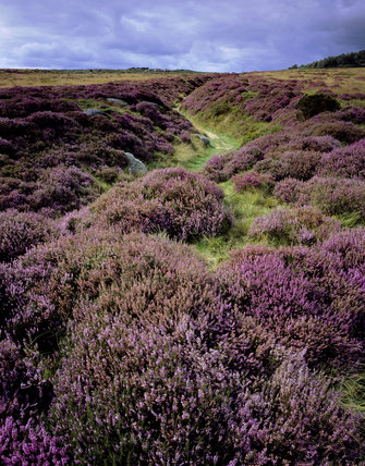 A footpath amongst the heather-covered boulders on the moorland area of the Longshaw Estate in the Peak District