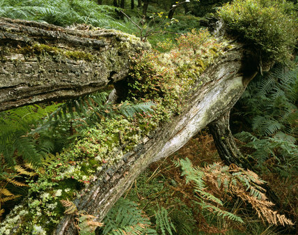 Close view of fallen rotting oak with mosses and lichens in Horner Wood, Holnicote Estate - with ancient oak woodland with mostly sessile oak trees with an important lichen flora