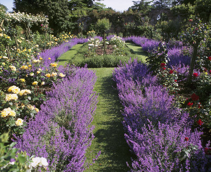 Rose beds edged with lavender in full flower in the Pergola garden at Gunby Hall