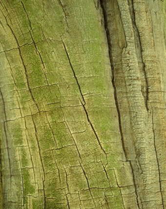 Detail from a trunk of horse chestnut tree