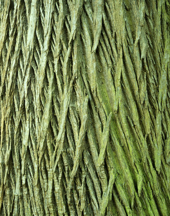 Close-up of the bark from a Horse Chestnut tree