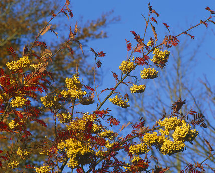 Berries and leaves of Sorbus JOSEPH ROCK at Scotney Castle Garden in the autumn