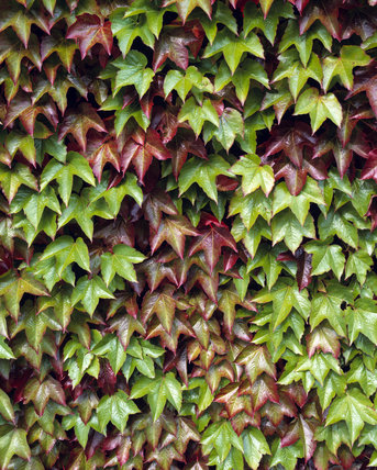 Detail of the leaves of Virgina Creeper on the terrace wall at Chartwell