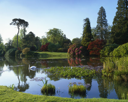 A swan glides across the Middle Lake at Sheffield Park Garden