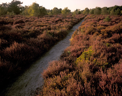 A footpath leading through heather on Dunwich Heath, Suffolk, with trees in the background