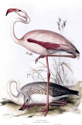 BIRDS OF EUROPE - FLAMINGO (Phoenicopterus ruber) by John Gould, London, 1837, from the Library at Blickling Hall