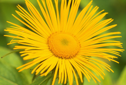 Close up view of a single bright yellow Inula hookeri in the garden at Wallington
