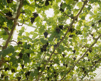 Grapevines trailing along roof structure in greenhouse at Felbrigg