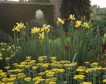 Yellow flowers of tall, upright irises and flat heads achillea `Moonshine' in the foreground in the Cottage Garden at Sissinghurst