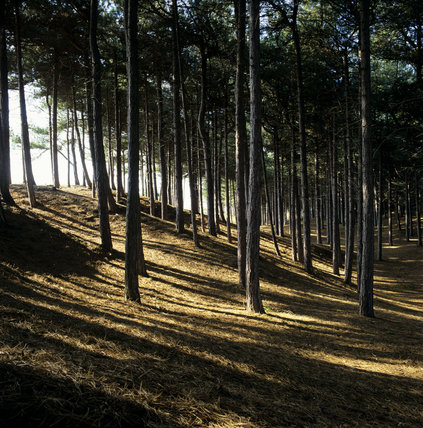 Sloping pine woodland at Formby Point