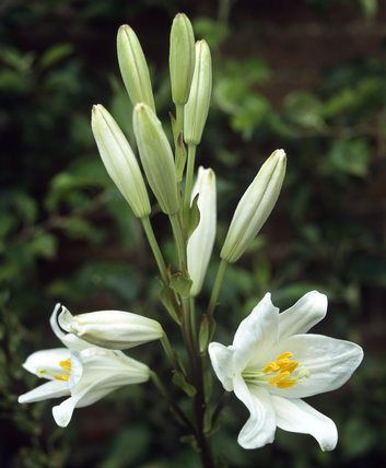 A close view of a group of Lilies in full bloom and some closed