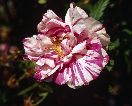 A close view of a pink and white stripey rose in full bloom - 'rosa gallica versicolour (rosa mundi) gallica ancient'