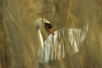 Mute Swan viewed through dried reeds bordering the River Wey Navigation